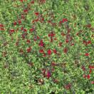 Sauge à petites feuilles microphylla Rêve® Rouge 'Fauresal02'