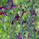 Sauge x jamensis Violette de Loire® 'Barsal'