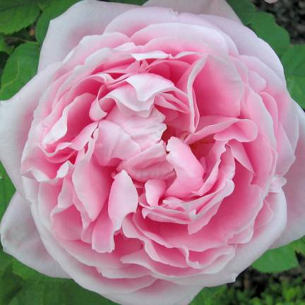 Rosier arbustif Baronne A. de Rothschild