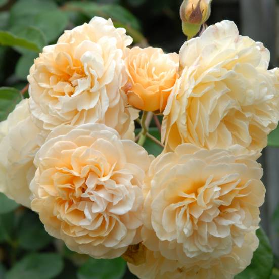 Rosier arbustif Buff Beauty
