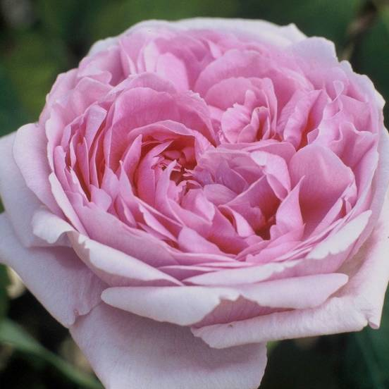 Rosier arbustif Comte de Chambord