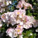 Rosier arbustif Jeanne de Chedigny® 'Evegny'