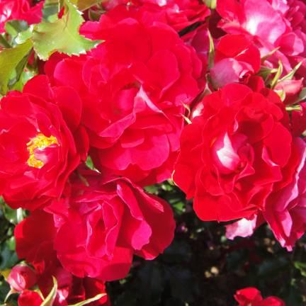 Rosier arbustif Moraya Rouge® 'Evemor'