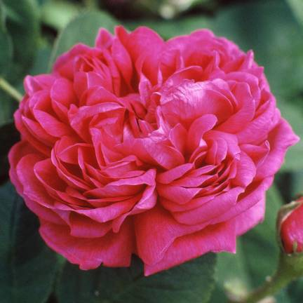 Rosier arbustif Rose de Resht