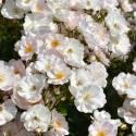 Rosier arbustif Rosée du Matin® 'Evematch'