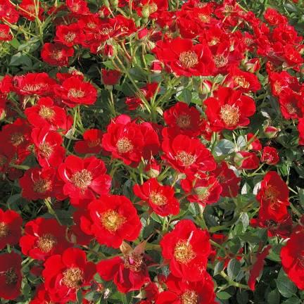 Rosier arbustif Tapis Rouge® 'Interop'