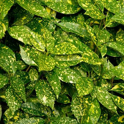 Aucuba du Japon Crotonifolia