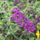 Arbre aux papillons davidii Nanho Purple
