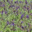 Arbre aux papillons davidii Empire Blue