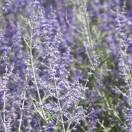 Lavande d'Afghanistan atriplicifolia Blue Spire