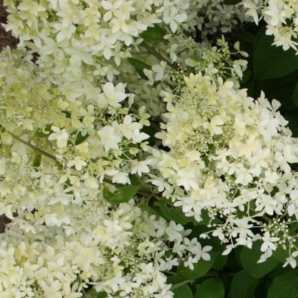 Hortensia paniculata Dentelle de Gorron® 'Rencri'