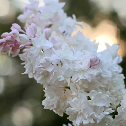 Lilas commun vulgaris Belle de Moscou