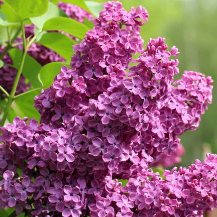 Lilas commun vulgaris Prince Wolkonsky®