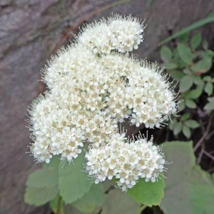 Spirée à feuilles de bouleau betulifolia Aemiliana