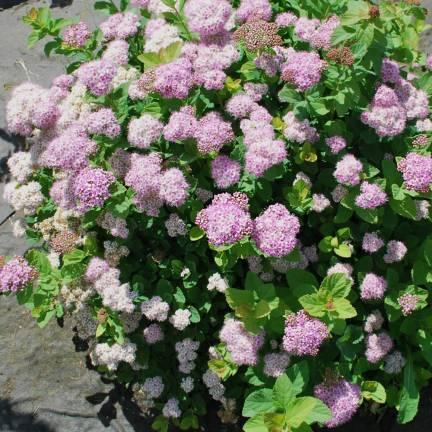 Spirée à feuilles de bouleau betulifolia Pink Sparkler® 'COURISPI01'