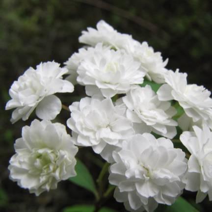 Spirée à feuilles pruineuse prunifolia Plena