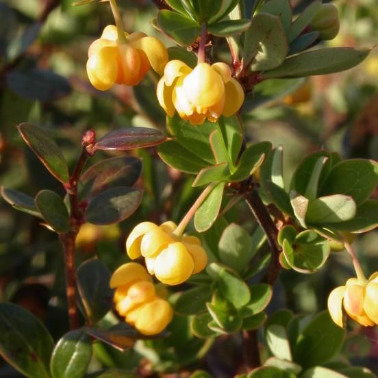 Epine-vinette buxifolia Nana