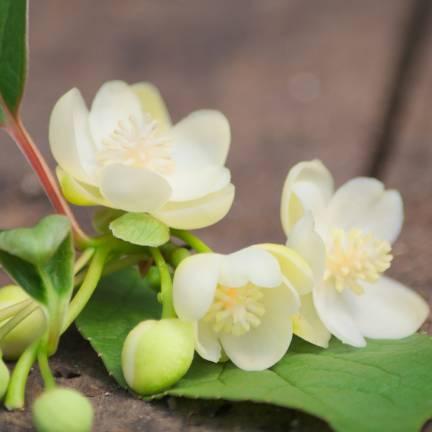 Magnolia grimpant grandiflora