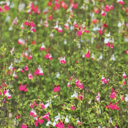 Sauge à petites feuilles microphylla Pink Lips®