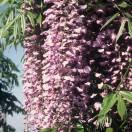Glycine du Japon floribunda Royal Purple