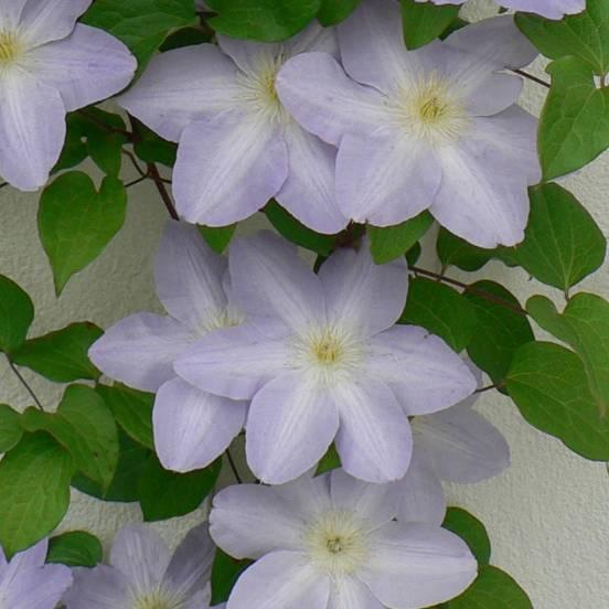 Clématite SUCCESS® Lavender 'Tra27'