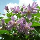 Clématite integrifolia Star River® 'Zostarri'