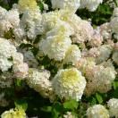 Hortensia paniculata Diamantino® 'Ren101'