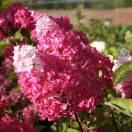 Hortensia paniculata Fraise Melba® 'Renba'