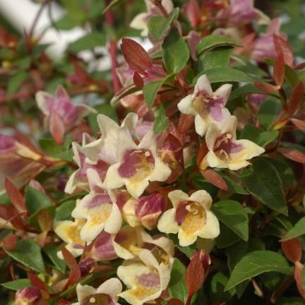Abélie à grandes fleurs grandiflora Sunny Charm® 'Minduo1'