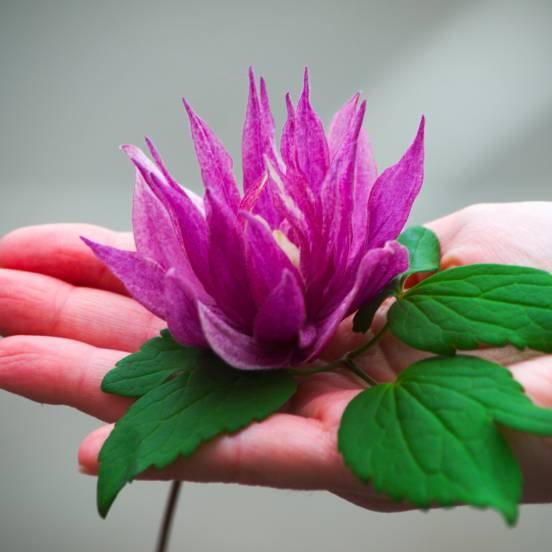 Clématite macropetala Purple Dream®