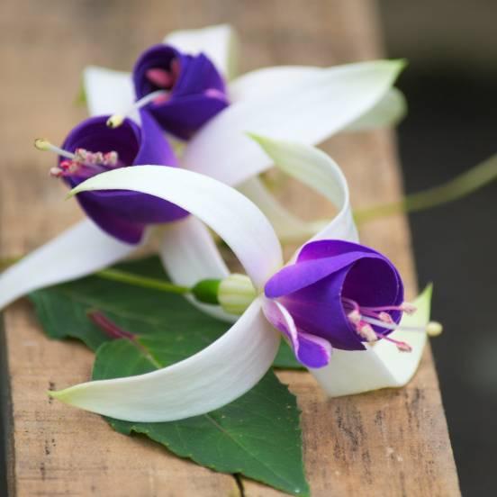 Fuchsia X Blue Sarah