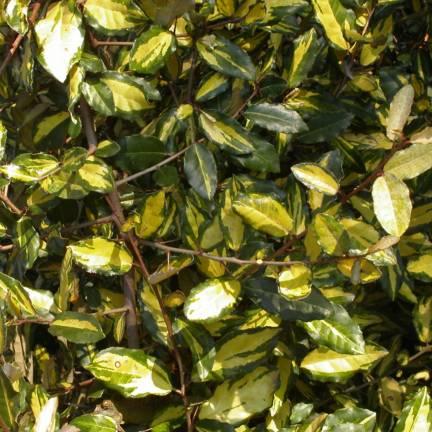 Elaeagnus piquant pungens Maculata