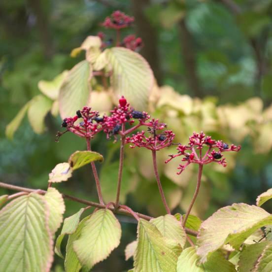 Viorne de Chine plicatum Mariesii