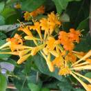 Chèvrefeuille de Brown x brownii Golden Trumpet® 'Mintrump'