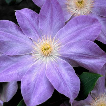Clématite Diana's Delight™ 'Evipo026'