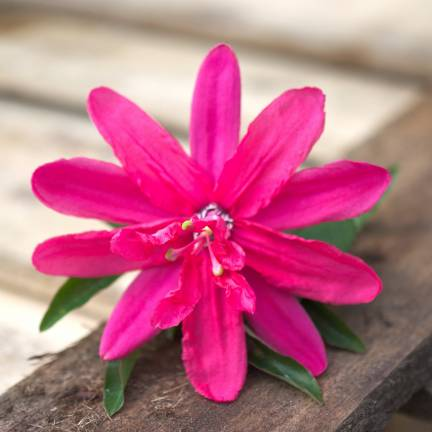 Passiflore x belotii Pink Passion®