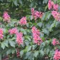 Marronnier hippocastanum Baumannii