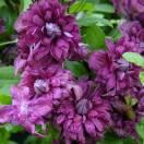 Clématite viticella Purpurea Plena Elegans