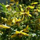 Clématite tangutica Golden Tiara® Kugotia