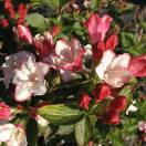 Weigela x Carnaval® 'Courtalor'