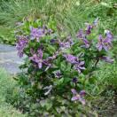 Clématite integrifolia SAPHYRA® Estrella 'Cleminov27'