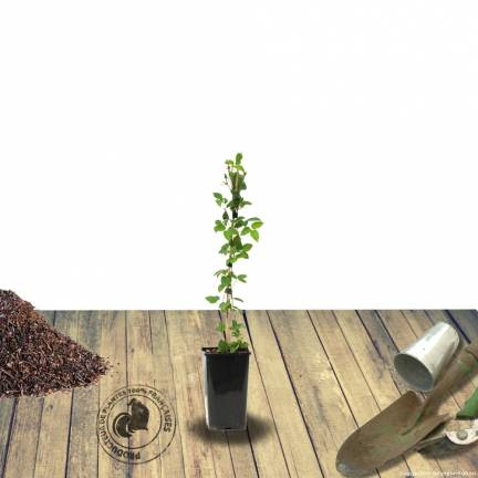 Clématite Beautiful Bride®