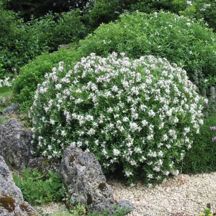 Daphne x transatlantica Eternal Fragrance 'Blafra'