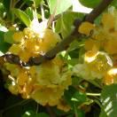 Kiwi chinensis Tomuri (Mâle)
