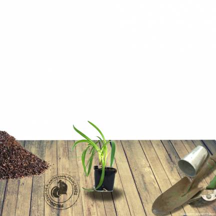 Agapanthe africanus GRAPHITE ® White 'TURK3'