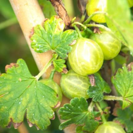 Groseillier à maquereaux uva-crispa Captivator