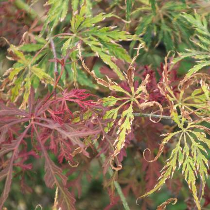Érable palmé palmatum Inaba Shidare