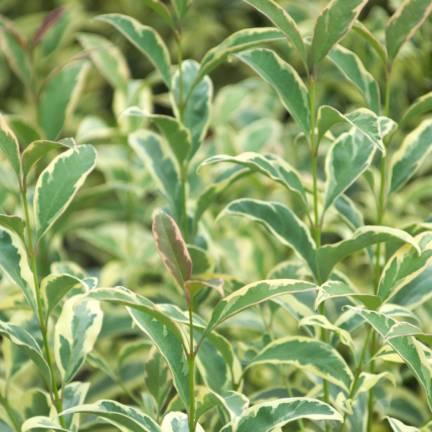 Troène luisant, Troène de Chine lucidum Tricolor