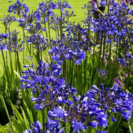 Agapanthe x Flower of Love®