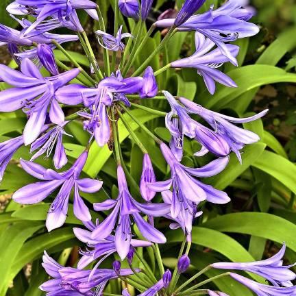 Agapanthe x Purple Delight